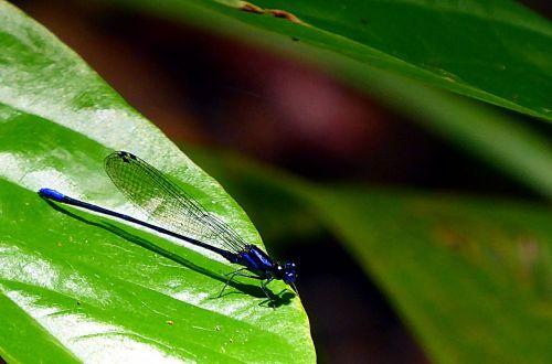 lazda,vabzdžiai,odonata,mėlynas,gyvūnas,makro