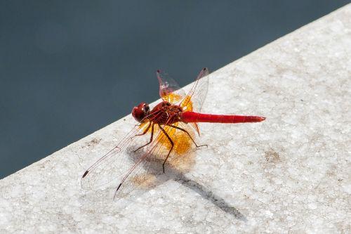 lazda,vabzdys,sparnas,laukinė gamta,klaida,krūtinės angina,laukiniai,entomologija,lauke,gyvenimas,gamta,bestuburiai