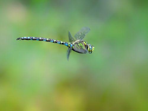 lazda,Hawker,mėlyna Žalia,skrydžio metu,makro,gamta,Uždaryti,vabzdys,sparnas,skrydžio vabzdys,gyvūnas,jungtinės akys,aeshna cyanea