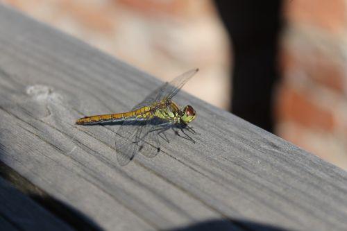 lazda,vabzdys,gamta,Iš arti,vabzdžiai,vasara,skraidantis vabzdys,lazdelės