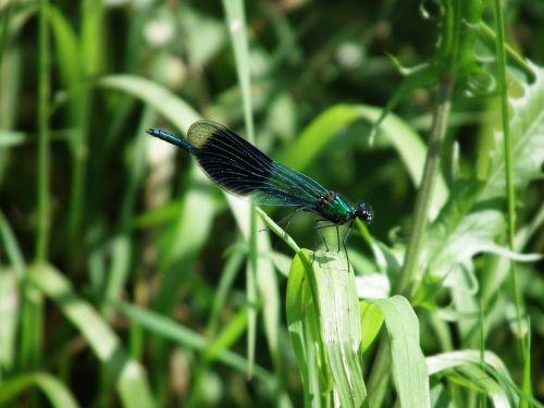 lazda,vabzdys,vasara,blizgantis,sparnas,skaidrus,skrydžio vabzdys,žolė,halem