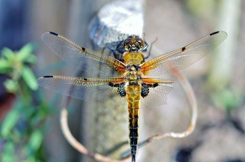 lazda,vabzdys,sparnas,laukinė gamta,klaida,mažas,krūtinės angina,laukiniai,entomologija,lauke,gyvenimas,gamta,bestuburiai