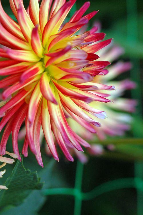 fonas, gėlių, gėlė, geltona, sodas, dahlia, tamsi, svajingas, svajonių dahlia