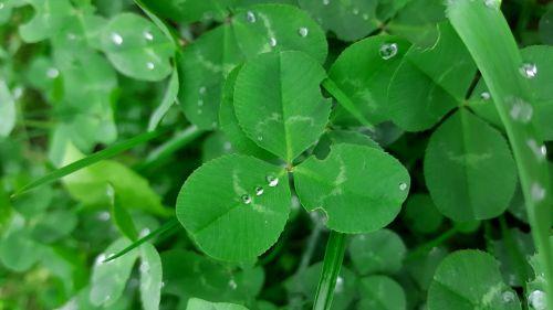 dreiklee,žalias,klee,keturių lapų dobilų,kleelätter,laimingas dobilas,laimingas žavesys,kleebblaetter,žalias dobilas,šlapias,rasos rasos,Uždaryti,žolė,trifolium,žolės,gamta,pieva