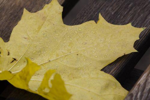 lašai,lakštas,klevas,rosa,lapai,ruduo,klevo lapas,gamta,aukso ruduo,rudens lapai,geltonas lapas,geltonieji lapai,klevo lapai,rudens lapas,medis,geltona,Iš arti,auksinis klevas,šviesus,Iliustracijos,parkas,listopad,atsiskyrimas,auksiniai klevai,vaikščioti