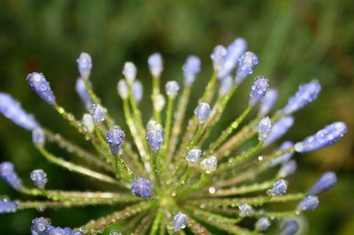 gėlė, pumpurai, mėlynas, stiebai, agapanthus, lašai, lietus, vanduo, lašai ant mėlynos agapanthus pumpurų