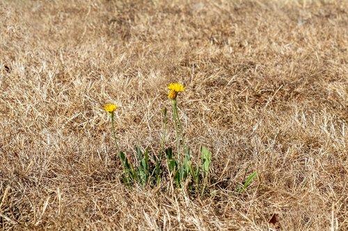 sausra, sausa žolė, karščio bangos, vasaros karščio, geltona veja, sudegino, miško hawkweed, sienelę-hawkweed, Vanagė sylvaticum, kompozitai, Asteraceae, pobūdį, klimato kaita