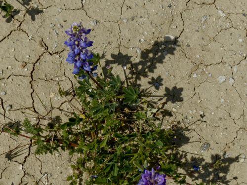 sausra, išgyventi, ne & nbsp, vanduo, sausas & nbsp, purvas, įtrūkęs & nbsp, dirvožemis, krekingo & nbsp, žemę, džiovintas & nbsp, aukštyn, violetinė, gėlė, augalas, Sausra gėlė