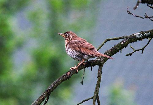 drozd,paukštis,medis,gamta,filialai,ornitologija,pavasaris,viščiukas