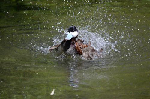 antis,vanduo,sąskaitą,vandens paukštis,gamta,drake,paukštis,plumėjimas,laukinis paukštis,ančių paukštis