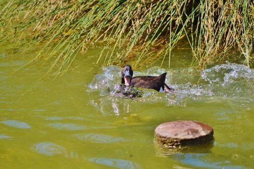 antis,vandens paukštis,meletas,ančių paukštis,tvenkinys,paukštis,vanduo,gamta,ranting,gyvūnas