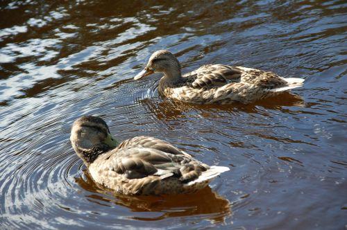 antis,baigiasi,vanduo,paukštis,oslo,Norvegija,plauti,pavasaris