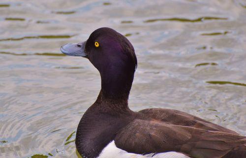 antis,vandens paukštis,eilinė pensija,ančių paukštis,tvenkinys,paukštis,vanduo,gamta,gyvūnas