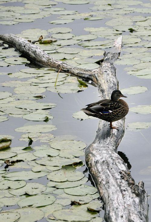 antis,vanduo,paukštis,gamta,tvenkinys,ežeras,užaugęs tvenkinys