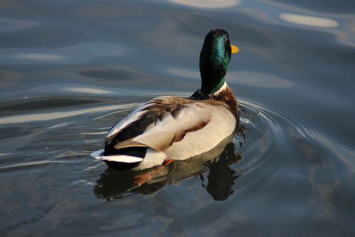 antis, baseinas, vanduo, ežeras, paukštis, vandens paukščiai, meletas, be honoraro mokesčio