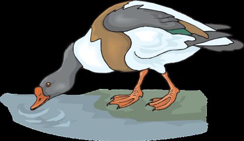 antis,vanduo,paukštis,gerti,plunksnos,gerti,nemokama vektorinė grafika