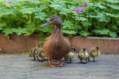 Antis,  Ančių Šeima,  Viščiukai,  Antis Motina,  Antis Kūdikis,  Visas Mano Ančiukas,  Laukiniai Antis,  Gyvūnas,  Vandens Paukštis