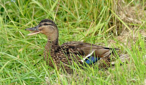 antis, jaunas gyvūnas, mielas, vandens paukštis, jaunas paukštis, plumėjimas, įdomu, jaunas, gamta, ančių paukštis, laukinės gamtos fotografija