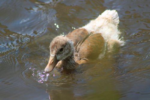 antis, vanduo, gamta, gyvūnas, paukštis, vandens paukštis, tvenkinys, kaukolės, plaukti, ančių paukštis, upė, sąskaitą, laukinis paukštis