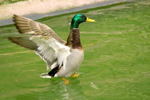 antis, aerobika, plunksnos, paukštis, vanduo, vandens paukštis, snapas, žalias, mėlynas, ruda, balta, purslų, ruožas, žaisti, linksma, mielas, ančių aerobika 1