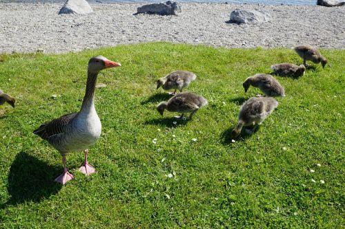 antis,paukštis,pieva,jaunas,gyvūnas,laukas,gamta,hof,ūkis,kiaušinis,Žemdirbystė,Bauer