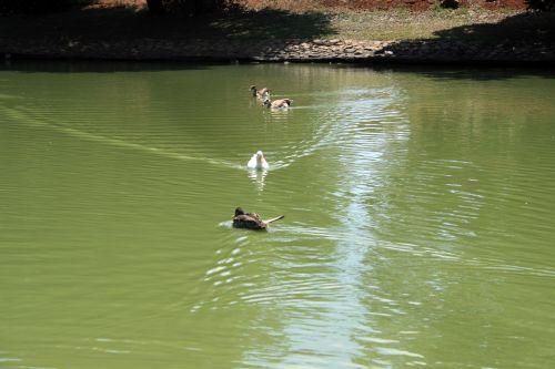 antis, tvenkinys, vanduo, maudytis, transliacijos, ančių ant tvenkinio