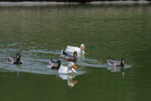 vanduo, tvenkinys, antis, maudytis, juda, ančiukai maudytis kartu