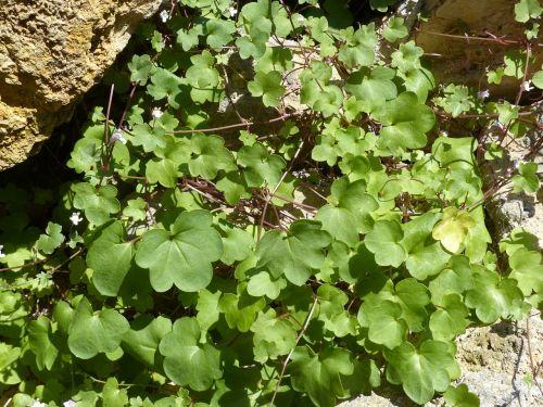 dulcimer žolė,žalia medžiaga,zymbelkraut,sieninė zimbelkrautė,cymbalaria muralis,linaria cymbalaria,plantacinis šiltnamio efektas,plantaginaceae,wallflower,sienų gėlė,hemikryptophyt,Chamaefitas,dekoratyvinis augalas,vaistinis augalas,sienos augalas,įtrūkimai,dekoratyvinis sodo augalas,akmens sodas,pusiau lengvas augalas,akmeninė siena,grindų drožtuvas