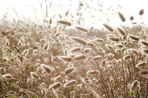 koplyčia,Hares-uodega,medvilninė žolė,žolė,purpurinė žolė,gamta,lagurus-ovatus,pieva,zuikio uodega