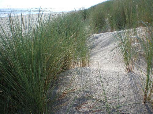 kopos žolė,papludimys,bankas,kopos,Baltijos jūra,augalas,Vokietija,smėlis,kopos