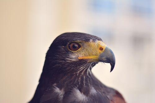 erelis,paukštis,plėšrūnas,plėšrusis paukštis,portretas,gyvūnas,laukinė gamta,snapas,aštrus,pavojingas,didingas,galia,galva,veidas