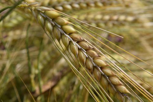 miežiai,maistingi miežiai,ausis,kukurūzų laukas,grūdai,grūdai,vasara,Uždaryti