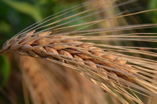 ausis,miežiai,grūdai,gamta,grūdai,Žemdirbystė,maistingi miežiai,Uždaryti,pagrindinis maistas,prinokę,auginimas