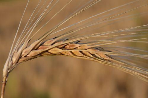 ausis,miežiai,grūdai,grūdai,Žemdirbystė,maistingi miežiai,Uždaryti,ruda,fonas,maistas