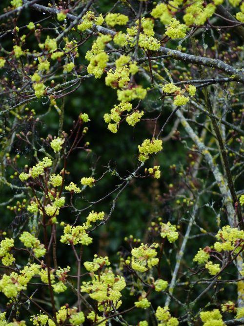 ankstyvas bloomer,klevas,gėlės,klevo gėlės,medis,Geltona žalia,šviesiai žalia,pirmieji diskai,šviesiai žali lapai,ūgliai