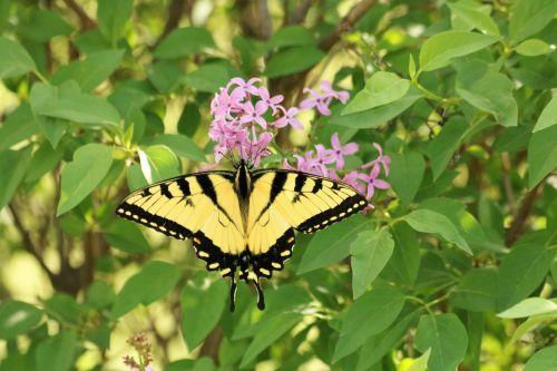 gamta, laukinė gamta, gyvūnai, vabzdžiai, drugelis, rytinė & nbsp, tigras & nbsp, lazdelė, swallowtail, tigras, geltona, juodas & nbsp, juostas, sipping, violetinė, gėlės, violetinės & nbsp, gėlės, lapai, rytinė tigro lazdelės drugelis