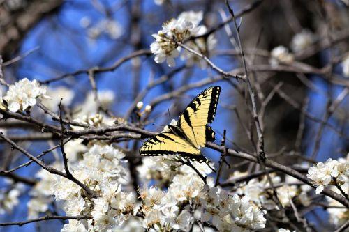 gamta, laukinė gamta, gyvūnai, vabzdžiai, drugelis, geltona & nbsp, juoda, rytinė & nbsp, tigras & nbsp, lazdelė, drugelis & nbsp, sparnai, sipping, gerti, medis & nbsp, žiedai, balti & nbsp, žiedai, mėlynas & nbsp, dangus, medis & nbsp, filialai, pavasaris, pavasario & nbsp, žiedai, rytinė tigro sperma pavasarį