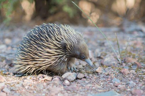 echidna, smailas anteateras, tachyglossidae, monotrema, monotremata, kiaušinių įdėjimo žinduolis, žinduolis, spygliai, australian, australia, gamta, laukinė gamta, lauke, gyvūnas, fauna, be honoraro mokesčio
