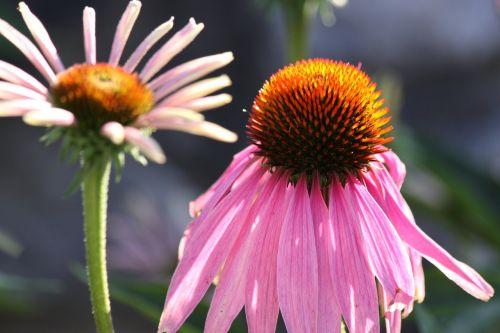Echinacea,Uždaryti,gėlė