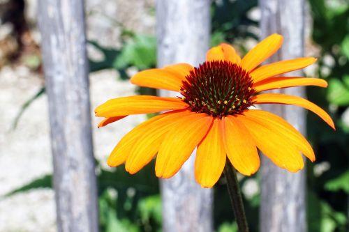 Echinacea,žolinis žydintis augalas,saulės skrybėlė,gėlė,žiedas,žydėti,geltona,makro,Uždaryti,sodas,šviesus,saulėtas geltonasis,sodo augalas,vasara,augalas,dekoratyvinis augalas,echinacea purpurea,kompozitai,maksimalus