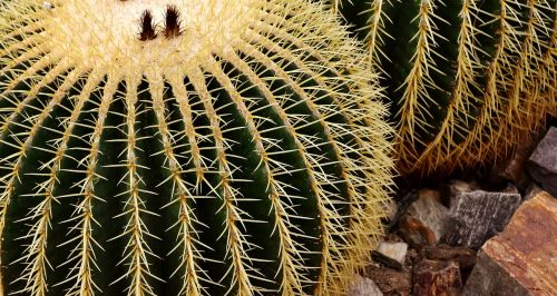 echinokaktumas, Meksika, rip, kaktusas, aukso kaktusas kaktusas, žalias, augalas, echinocactus grusonii, paskatinti, kaktusas šiltnamius, kaktusai, globojamos, smailas, dygliuotas, flora, be honoraro mokesčio