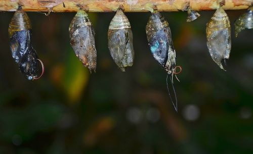 Eklūzija,kokonai,lerva,lervos,vabzdžių lervos,makro,gamta,parides iphidamas,drugelis,papilionidae
