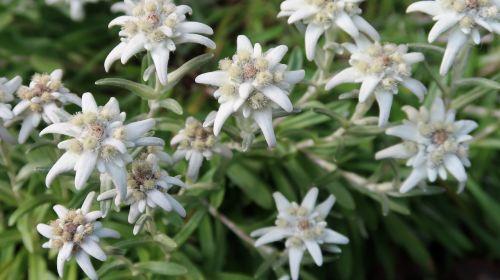 Edelweiss, Swiss, Zermatt