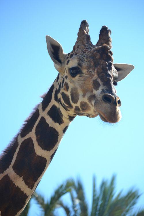 žirafa, gyvūnas, zoologijos sodas, vaikas, fonas, tapetai, elegantiška žirafa
