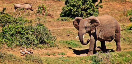 dramblys,gyvūnas,african bush dramblys,afrika,safari,žinduoliai,kruger nacionalinis parkas,pietų Afrika,proboscis,gamta,laukinė gamta,dykuma,laukinis gyvūnas,ruesseltier,jaunas gyvūnas,žąsys,warthog,gyvūnų pasaulis,pachyderm