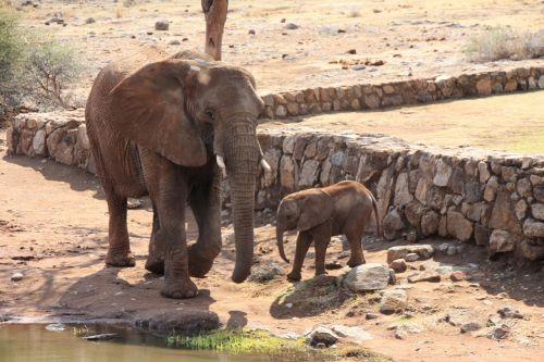 dramblys,pietų Afrika,afrika,laukiniai,brosmė,safari,bagažinė,gyvūnas