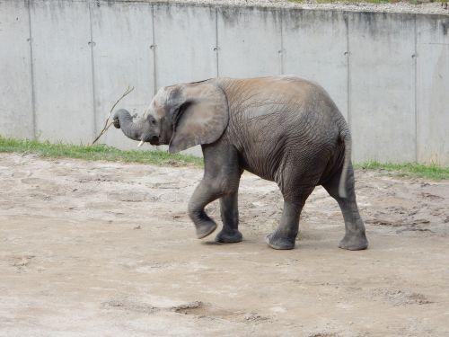 dramblys,kūdikio dramblys,african bush dramblys,jaunasis dramblys,proboscis,pachyderm,žinduoliai,žaisti,dramblio vaikas,proboscidea