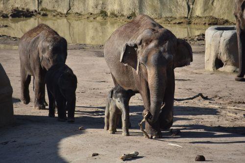 dramblys,dramblys šeima,jaunas gyvūnas,kūdikio dramblys,pachyderm,jaunasis dramblys,Nacionalinis parkas,žinduoliai,proboscis,gyvūnų pasaulis