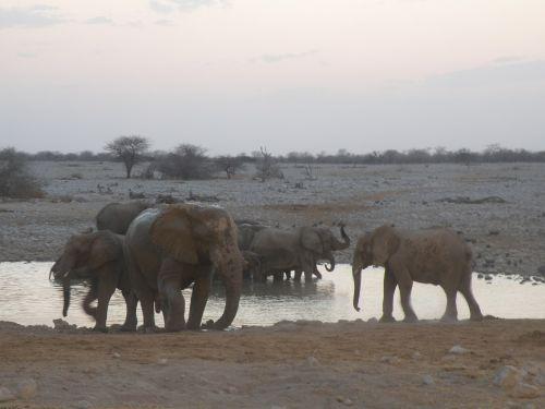 dramblys,Namibija,safari