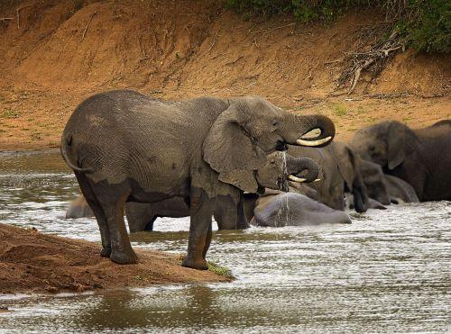 dramblys,bagažinė,upė,vanduo,dramblio kaulas,afrika,galingas,sunkus,didelis,Afrikos,pietų Afrika